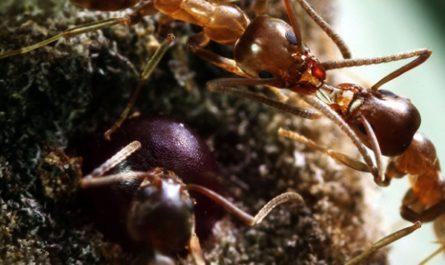 Трудолюбивые муравьи-вторженцы получили больше вирусов