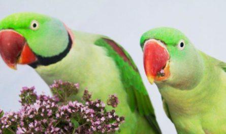 Попугаи пристрастились к опиуму и сеют хаос