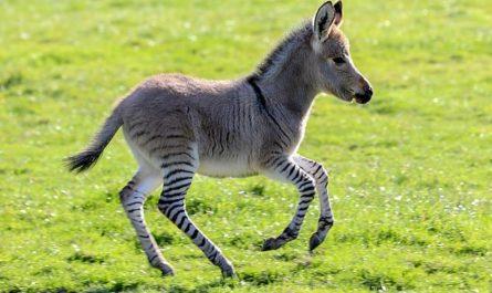Тем временем в Африке: Зебра сбежала из заповедника и родила от осла