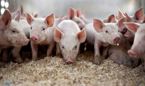 Сделано в Китае #260: свиньи HUAWEI, поддельная вакцина от коронавируса и «конный клуб»